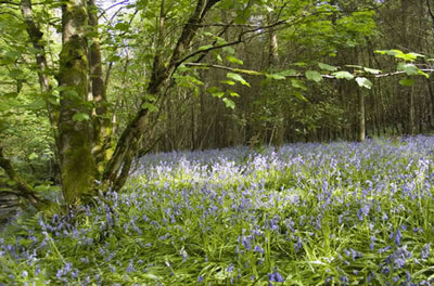 Frome bluebells